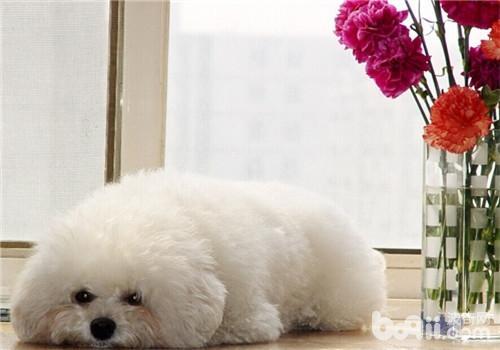 狗狗产后癫痫的病因-狗狗常见病